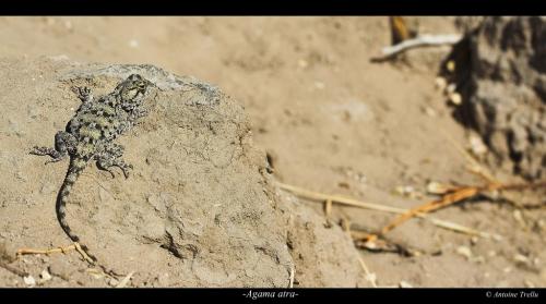 Agame des rochers