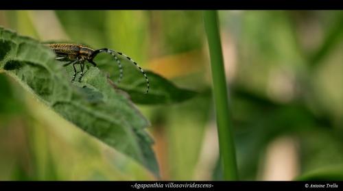 L'agapanthie à pilosité verdâtre