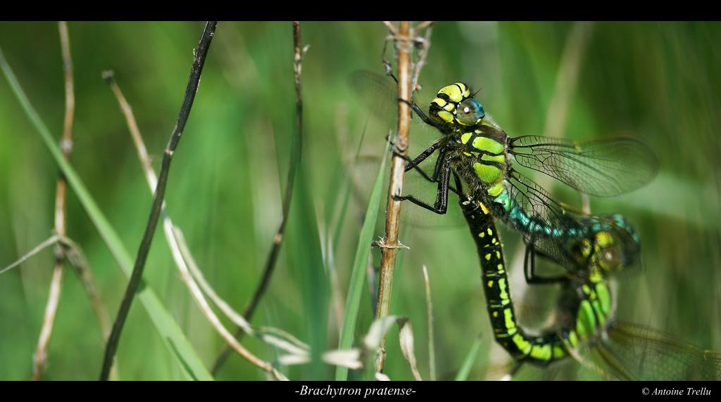 brachytron_pratense_dragonfly
