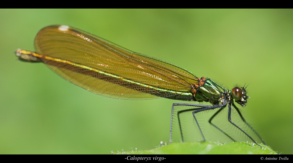 calopteryx_virgo_insect