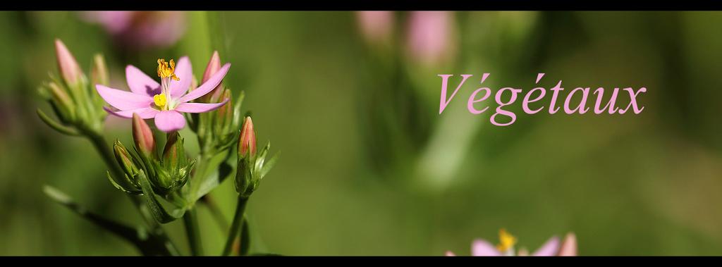centaurium_flower_lien