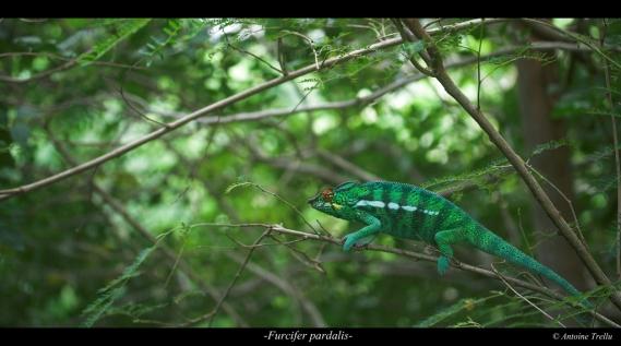 caméléon dans son environnement
