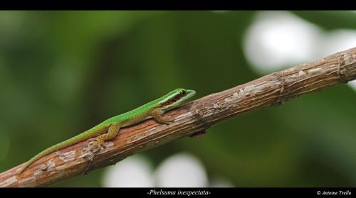 jeune gecko vert sur une branche