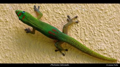 gecko à gouttes d'or sur un mur