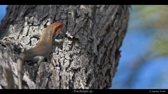 Lézard à tête rouge sur arbre