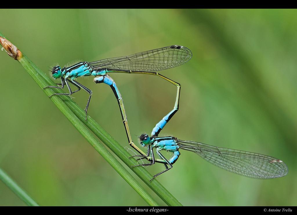 ischnura_elegans_insect