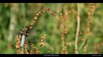 La libellule déprimée