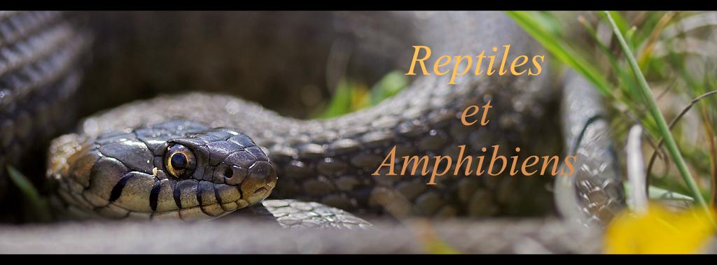 natrix_reptile_lien