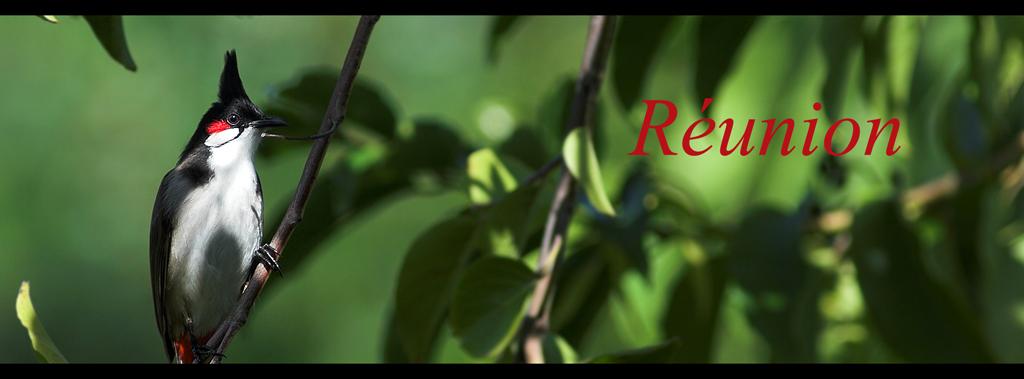 pycnonotus_reunion_lien