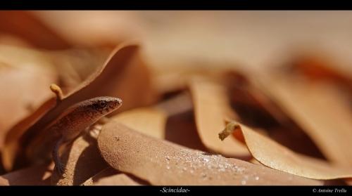 Scincidae