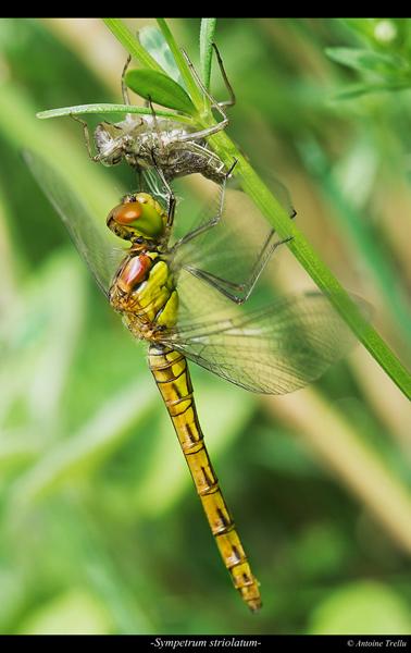 sympetrum_striolatum_insectb