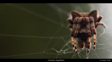L'épeire anguleuse