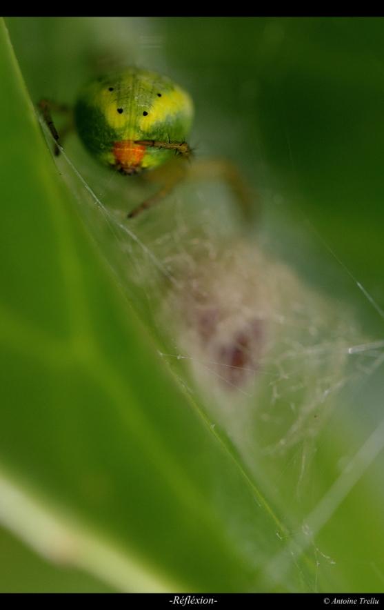 Araniella sp.