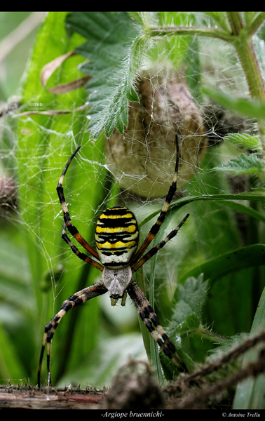 argiope_bruennichi_spiderb