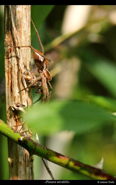 pisaura_mirabilis_spiderb