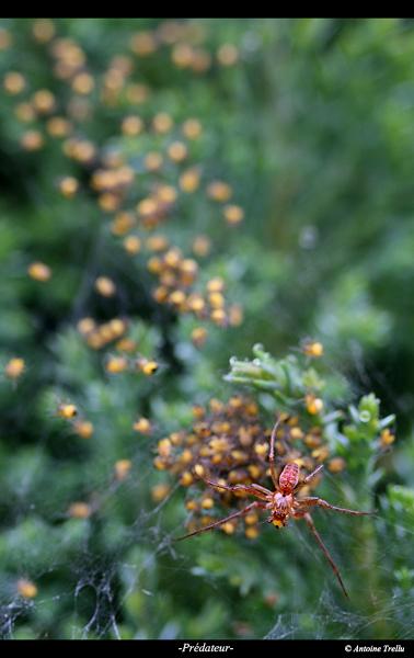 predateur_spider