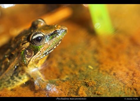 La grenouille des Mascareignes