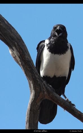 Le corbeau pie