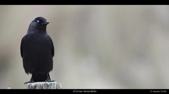 corvus_monedula_bird