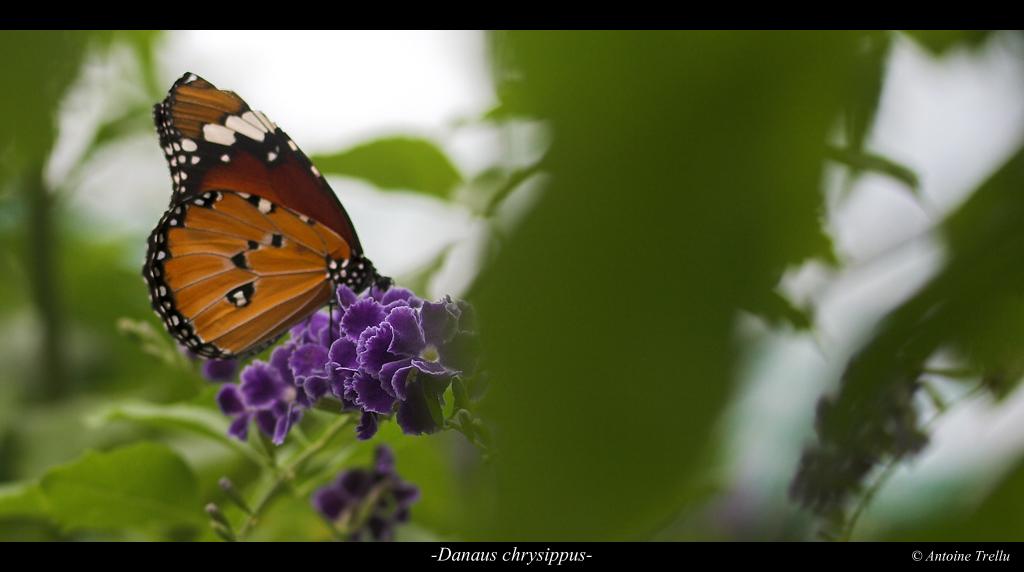 danaus_chrysippus_camouflage