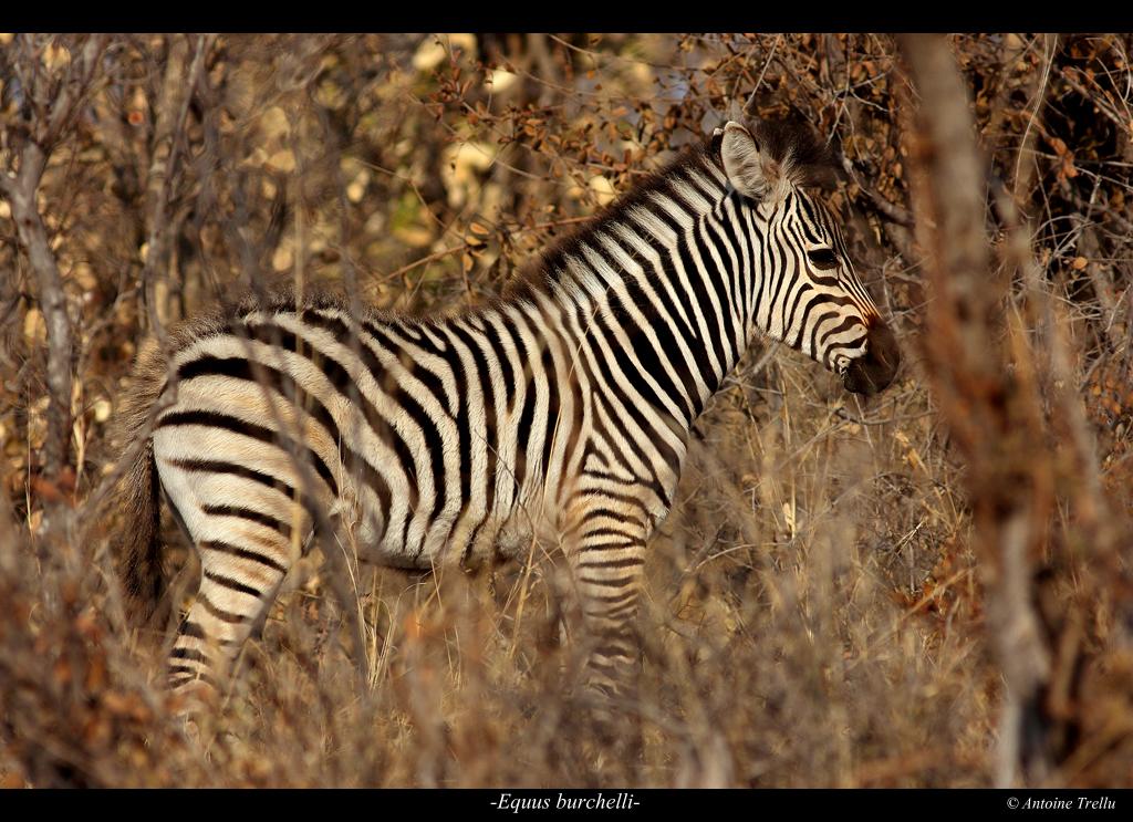 equus_burchelli_camouflage