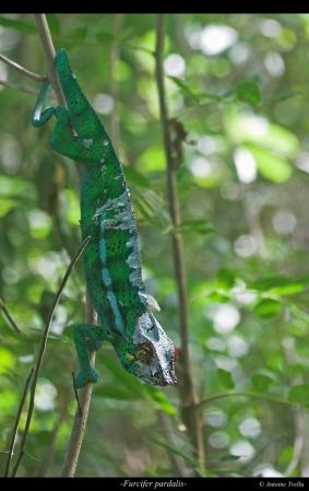 Le caméléon panthère