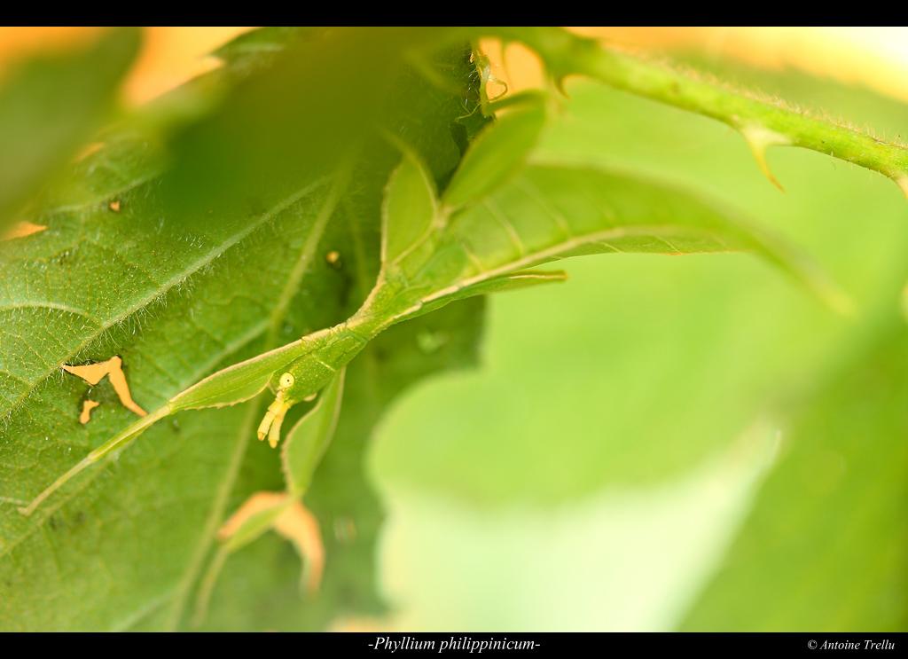 phyllium_philippinicum_camouflage