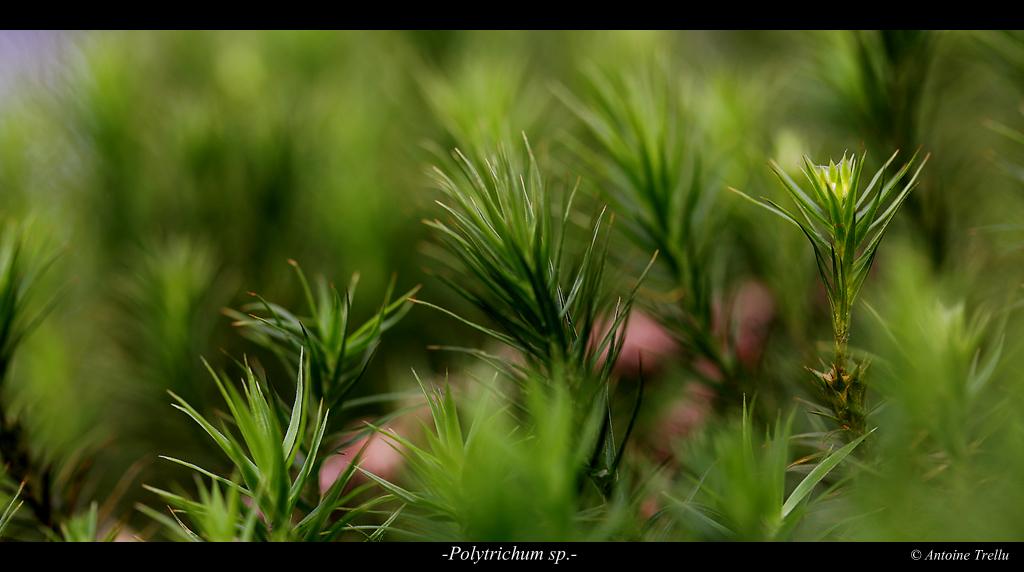 polytrichum_sp_flower