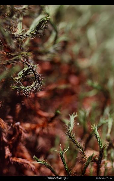polytrichum_sp_flowerba