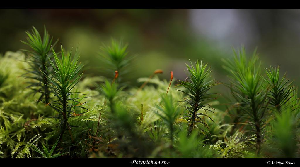 polytrichum_sp_flowerd
