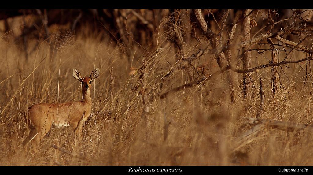 raphicerus_campestris_camouflage