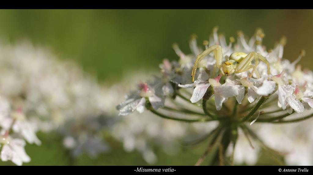 misumena_vatiab_spider