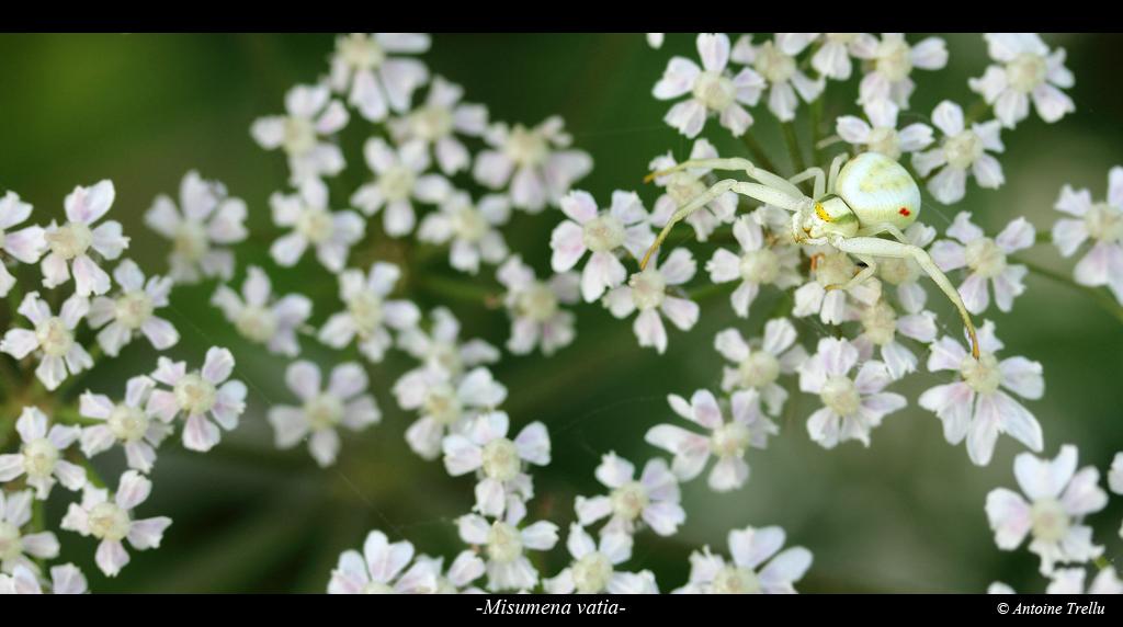 misumena_vatiac_spider