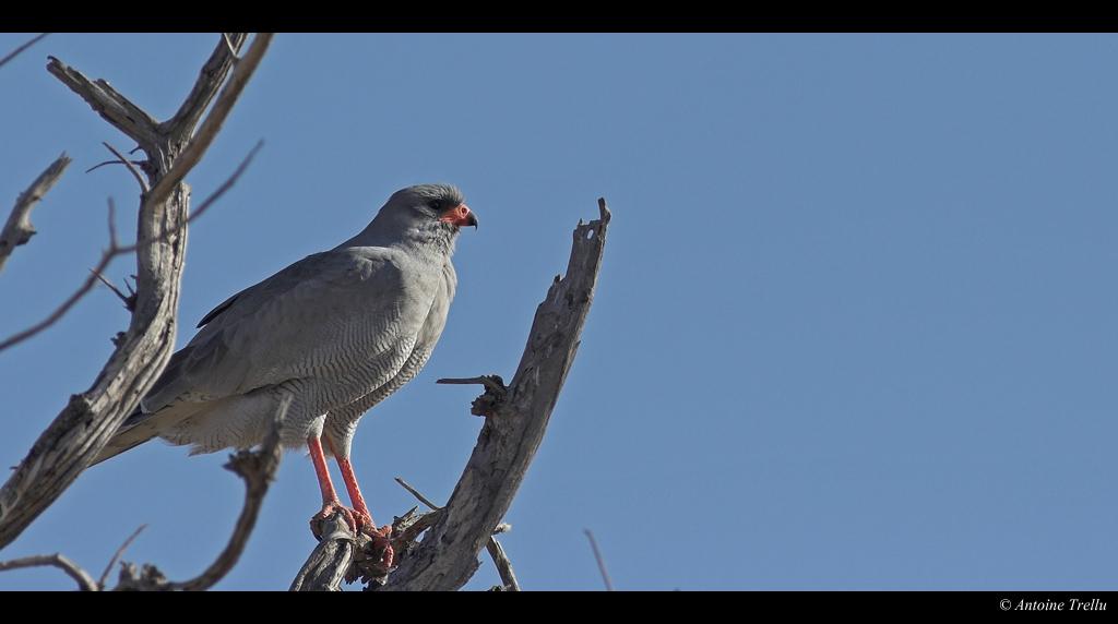 autour_bird_kalahari