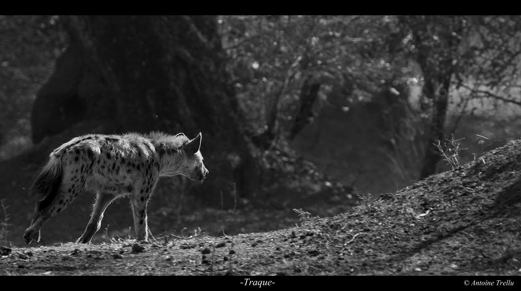 hyena_traque_africa