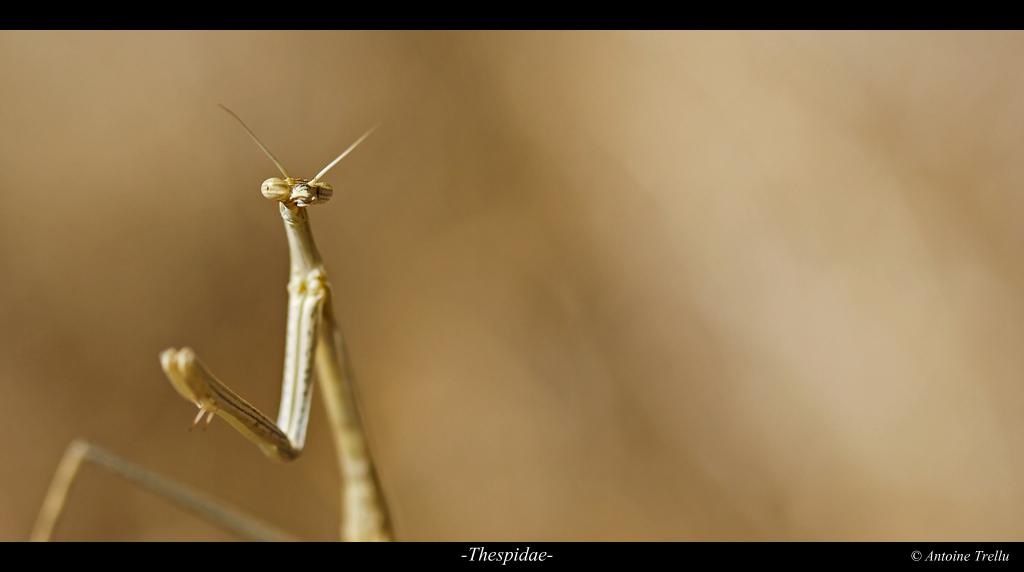 mantis_kalahari