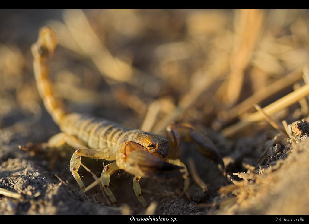 opistophthalmus_scorpion_kalahari