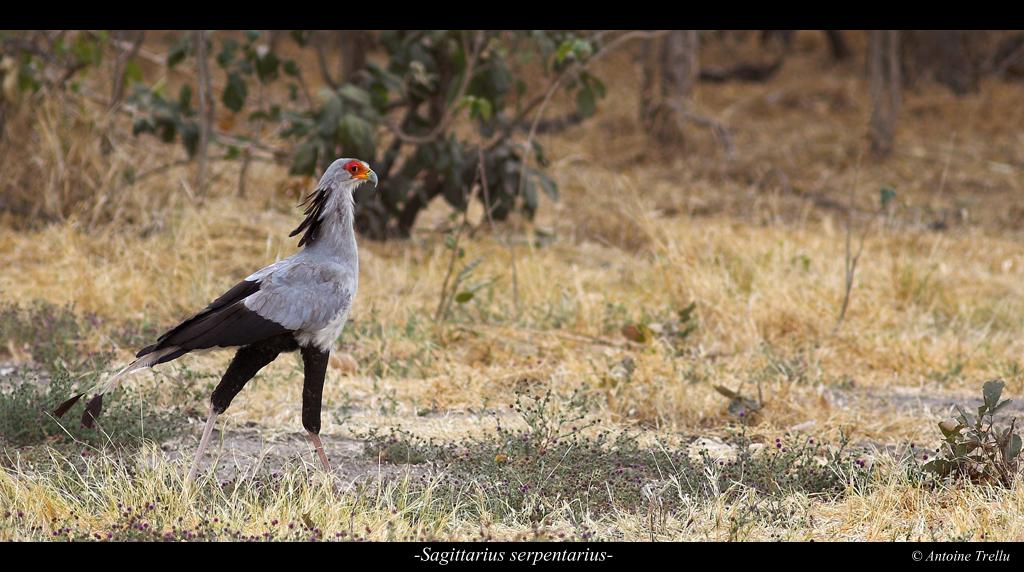 sagittarius_serpentarius_bird