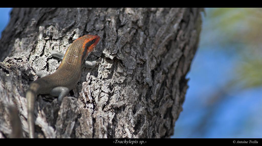 trachylepis_lizard_kalahari