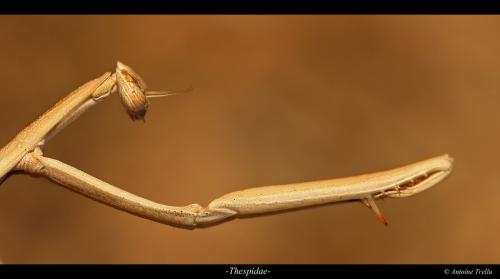 Thespidae