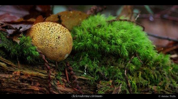 Scleroderma mushroom champignon