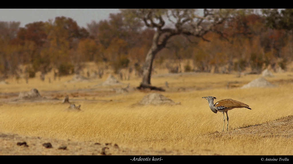 ardeotis_kori_africa