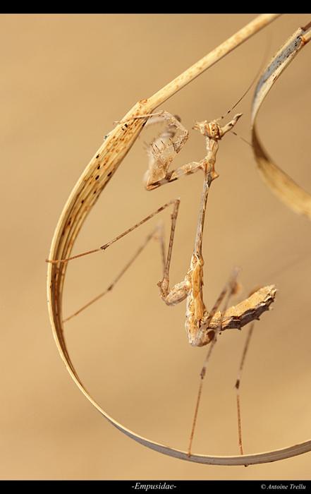 empusidae_mantis_africa