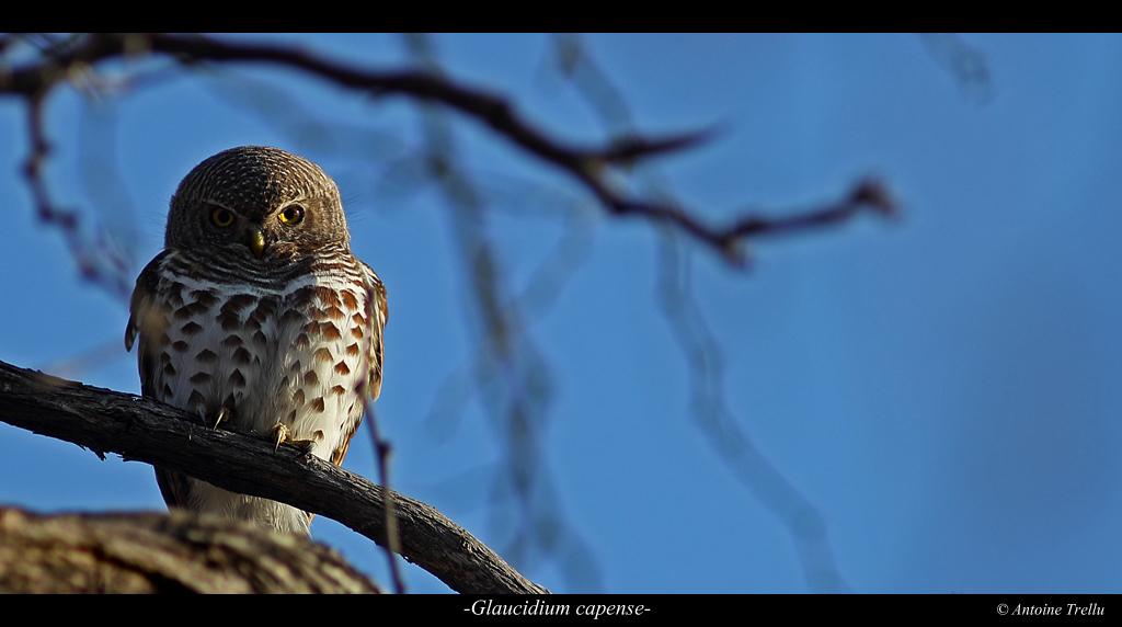glaucidium_capense_bird