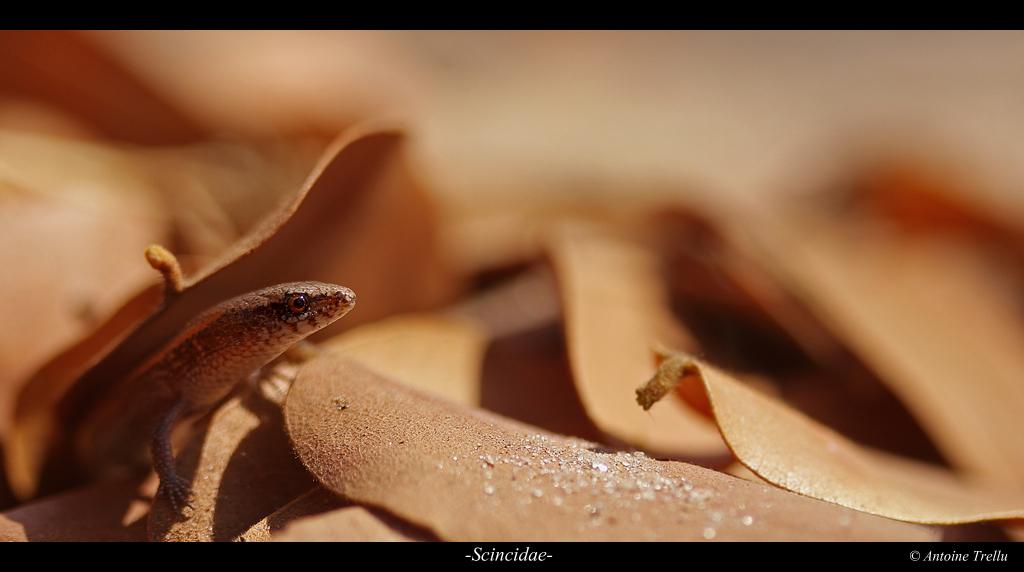 scincidae_lizard_africa