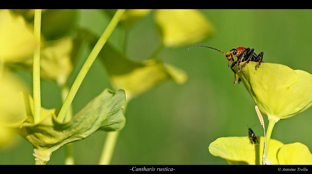 moine cantharis rustica sur fleur d'euphorbe