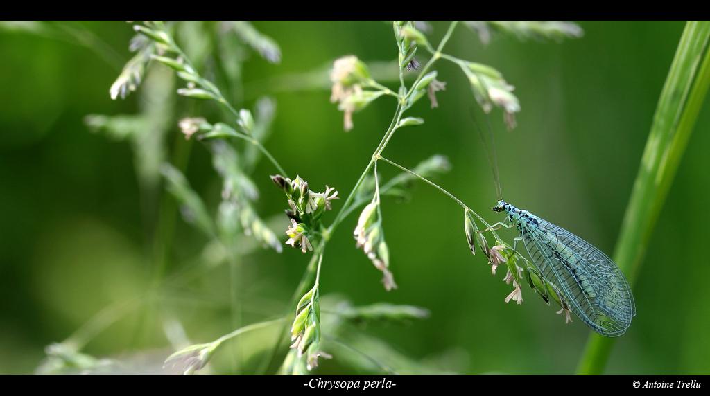 chrysope sur graminae