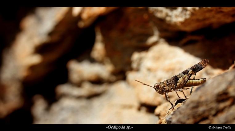 Criquet posant sur un rocher
