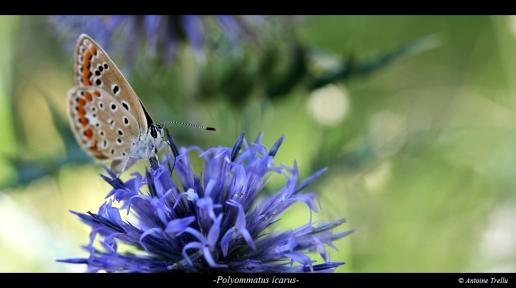 Polyommatus azuré papillon sirotant une fleur