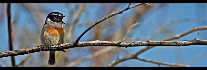 Saxicola tectes tec-tec sur une branche